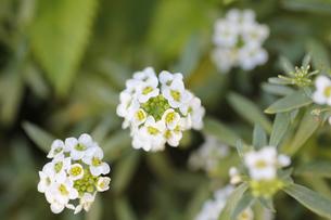 スウィートアリッサムの花の写真素材 [FYI00393423]