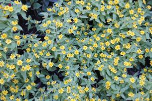 メランポジュームの花の写真素材 [FYI00393425]