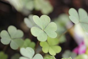 カタバミの葉の写真素材 [FYI00393428]