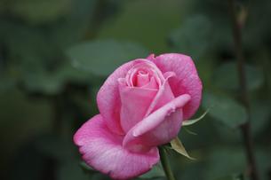 バラ(桃香)の写真素材 [FYI00393555]