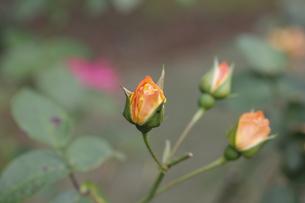 バラ(リオサンバ)の蕾の写真素材 [FYI00393578]