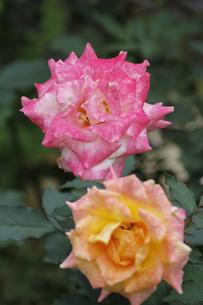 バラ(リオサンバ)の写真素材 [FYI00393610]