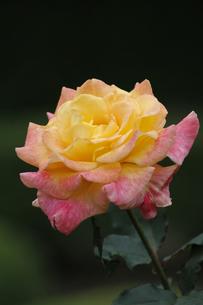 バラ(リオサンバ)の写真素材 [FYI00393615]