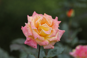バラ(リオサンバ)の写真素材 [FYI00393620]