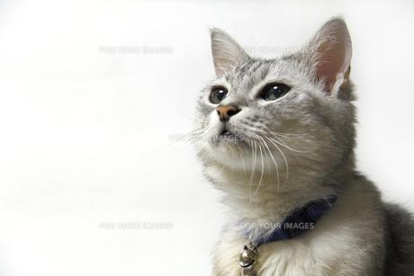 見上げる鯖トラ猫の写真素材 [FYI00393643]