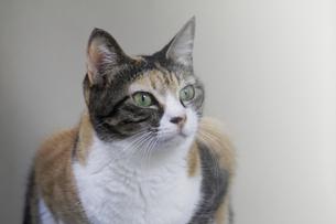 三毛猫の視線の写真素材 [FYI00393645]