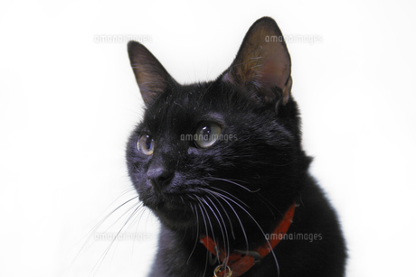 黒猫の写真素材 [FYI00393647]