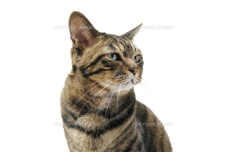 キジトラの猫の写真素材 [FYI00393648]