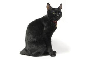 座り姿の黒猫の写真素材 [FYI00393649]