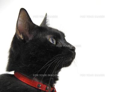 黒猫の横顔の写真素材 [FYI00393657]