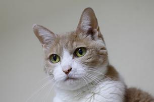 カフェ色の猫の写真素材 [FYI00393663]
