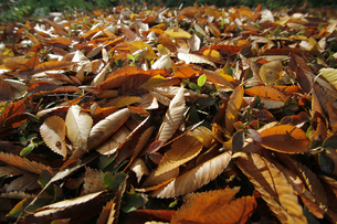 ケヤキの落ち葉の写真素材 [FYI00393818]