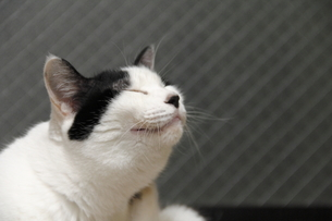 笑う白黒猫の写真素材 [FYI00393827]