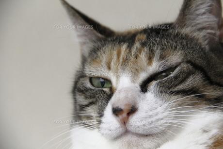 眼を飛は?す三毛猫の写真素材 [FYI00393832]