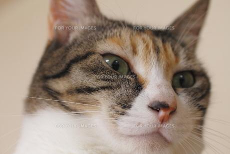 三毛猫の顔のドアップの写真素材 [FYI00393876]