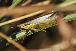 葉陰に潜むコバネイナゴの写真素材 [FYI00393933]