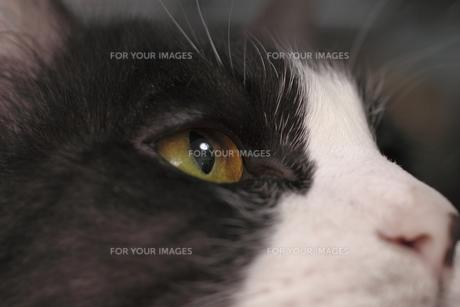 鉢割れ猫の瞳の写真素材 [FYI00394061]