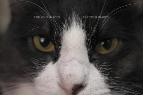 鉢割れ猫の鼻柱の写真素材 [FYI00394065]
