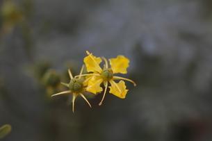ヘンルーダの花の写真素材 [FYI00394090]