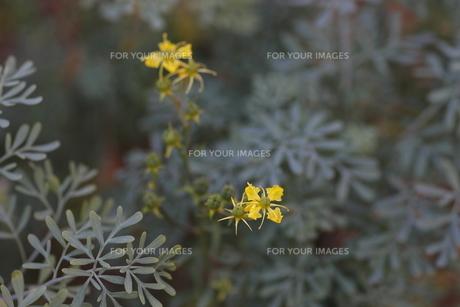 ヘンルーダの花(全体像)の写真素材 [FYI00394092]