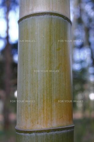 孟宗竹の表面の写真素材 [FYI00394097]