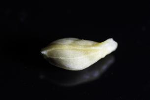 ミカンの種(超マクロ)の写真素材 [FYI00394162]