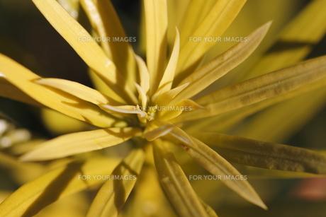 ラカンマキの新芽の写真素材 [FYI00394200]
