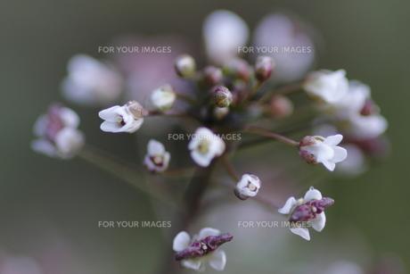 ナズナの花と実の写真素材 [FYI00394246]