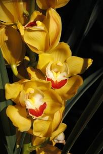 シンビジウム(黄色)の写真素材 [FYI00394254]