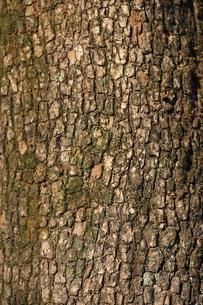 柿の木の樹皮の写真素材 [FYI00394262]