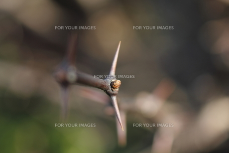 サンショウの棘と冬芽の写真素材 [FYI00394339]