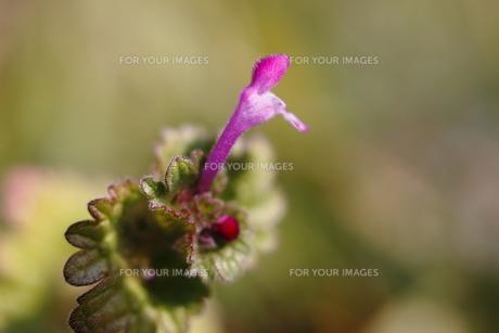 ホトケノザの花の写真素材 [FYI00394410]