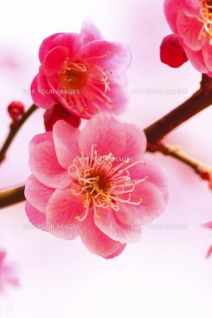 ピンクの梅の花、艶やかにの写真素材 [FYI00394556]