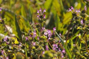 ホトケノザの花の群生の写真素材 [FYI00394617]