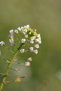 ナズナの花(縦)の写真素材 [FYI00394624]