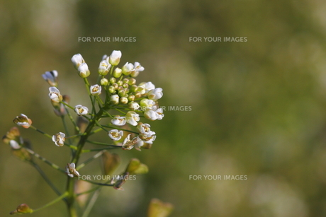 ナズナの花(左寄せ)の写真素材 [FYI00394630]