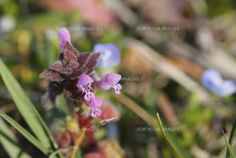 ホトケノザの花(左寄り)の写真素材 [FYI00394631]