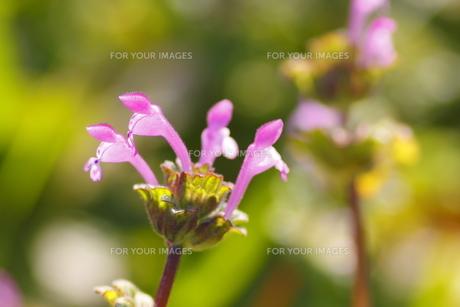 ホトケノザの花(横アングル)の写真素材 [FYI00394637]