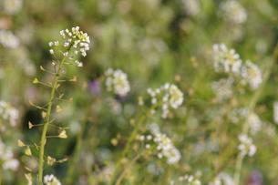 ナズナの花の群生の写真素材 [FYI00394639]