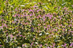 ホトケノザの花の群生(ロング)の写真素材 [FYI00394642]
