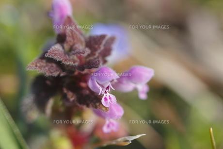 ホトケノザの花(やや上からアップ)の写真素材 [FYI00394653]