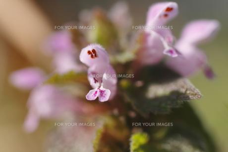 ホトケノザの花(花弁のアップ)の写真素材 [FYI00394654]