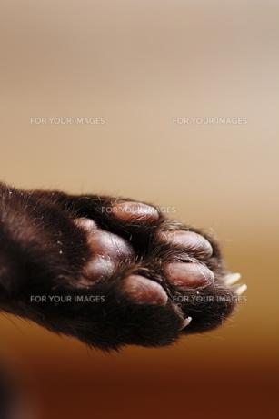 黒猫の肉球(後ろ足)の写真素材 [FYI00394689]