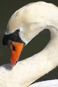 首を曲げる白鳥の写真素材 [FYI00394773]