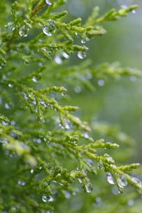雨の日のヒノキの写真素材 [FYI00394775]