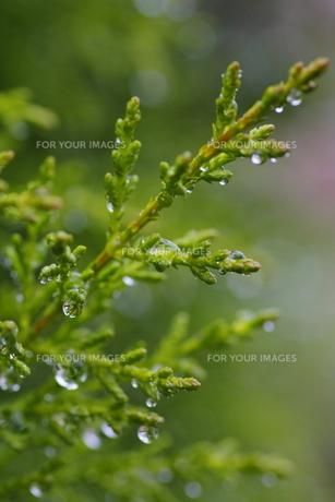 雨の日のヒノキ(上向き)の写真素材 [FYI00394782]