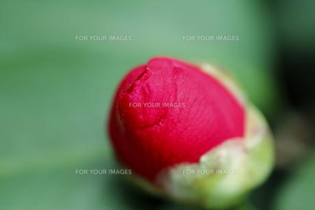 卵のようなツバキの蕾の写真素材 [FYI00394919]