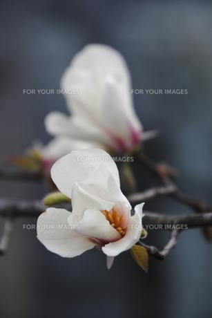 コブシの花(2輪)の素材 [FYI00395038]