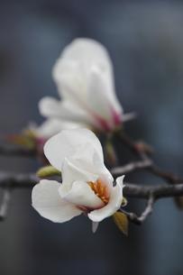 コブシの花(2輪)の写真素材 [FYI00395038]