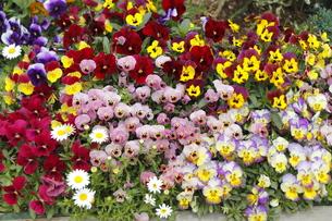 花壇の花いろいろ・1の写真素材 [FYI00395215]